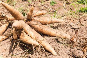 Health Benefits of Tapioca - Cassava tubers