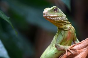 Health Benefits of Lizard Meat - Green lizard