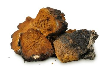 Health Benefits of Chaga Tea