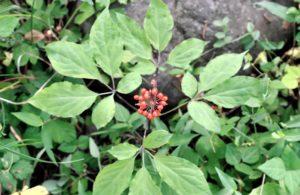 Panax Ginseng healing herb